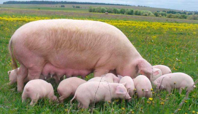 Большая белая свинья плодовита