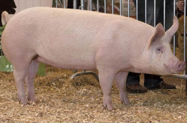 """Свиньи породы """"Крупная белая"""" очень неприхотливы"""