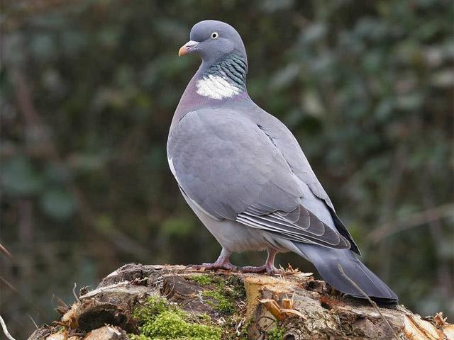Дикий голубь отличается от городского