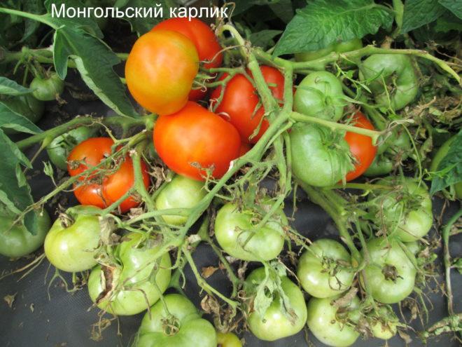 """Томаты """"Монгольский карлик"""" хорошо растут во всех регионах России"""