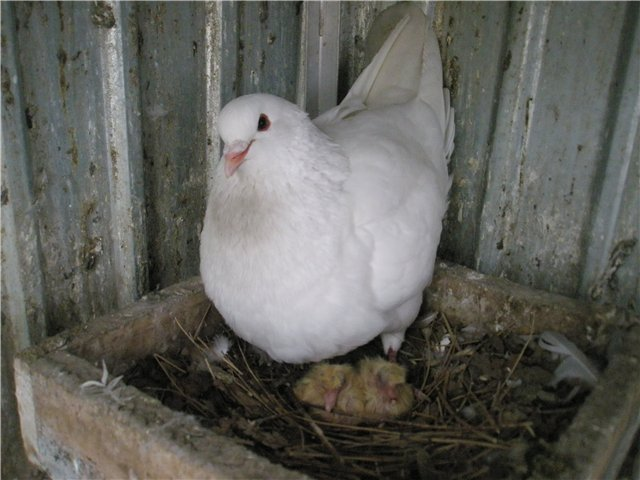 Мясные голуби весят много