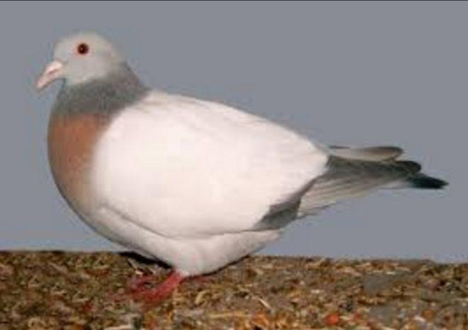 Куборгский жаворонок хорошо летает