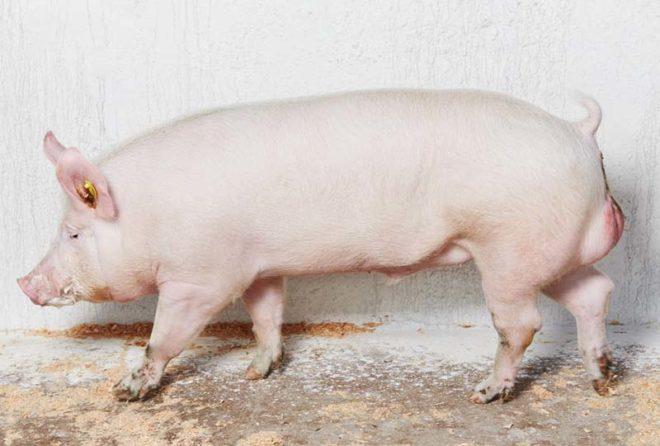 Русская крупная белая свинья универсальна