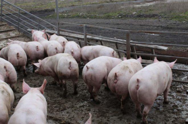 Тело мясной свиньи вытянуто