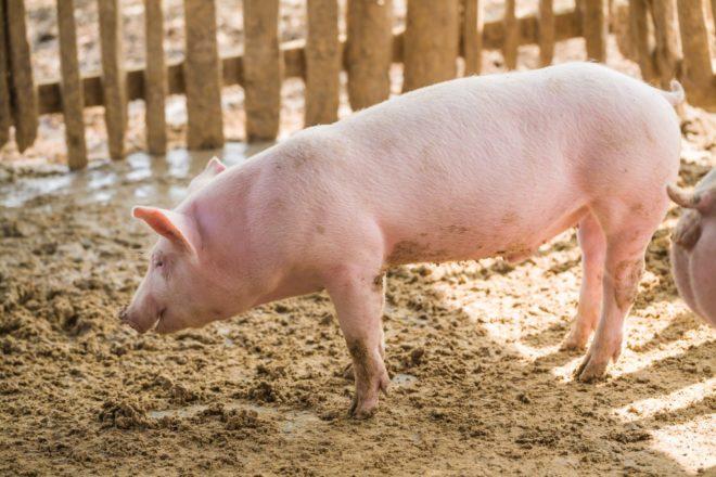 Есть множество пород мясных свиней