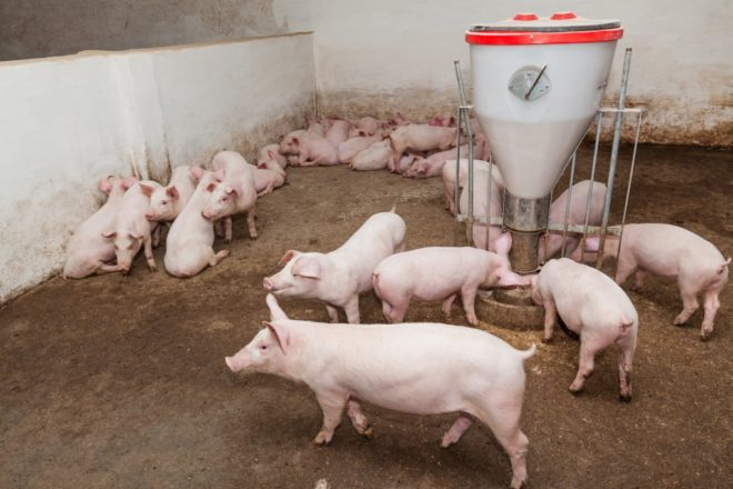 Рекомендуется содержать неприхотливый свиней