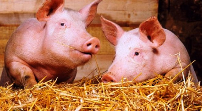 """Свиньи породы """"скороспелая мясная"""" быстро набирают массу"""