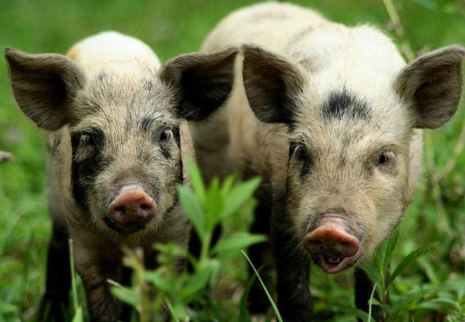 Миргородская свинья дает идеальное по вкусу сало