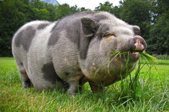 Внешний вид миргородской свиньи необычен