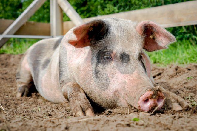 Миргородские свиньи любят растительную пищу