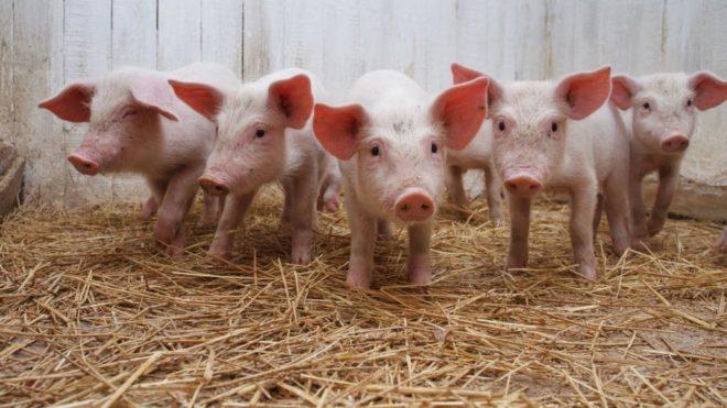 На развитие свиней влияют условия их содержания