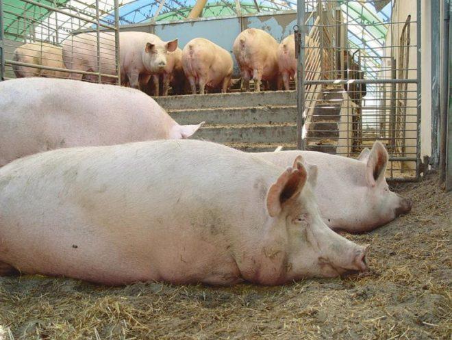 Разные породы свиней дают разные продукты животноводства