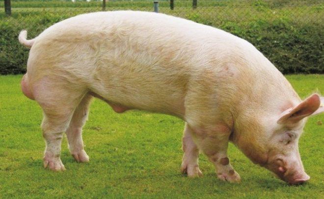 Свинья быстро набирает вес при правильном кормлении