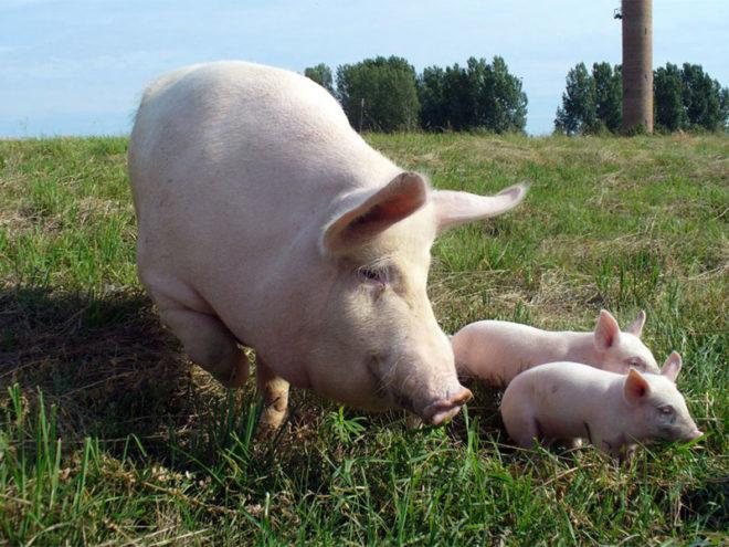 Свиней беконной породы необходимо выгуливать