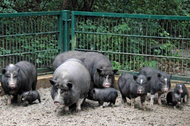 Вьетнамских свиней нельзя перекармливать