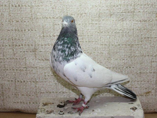 Пакистанские голуби небольшие по размеру
