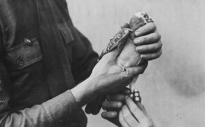 Почтовые голуби ранее ценились высоко