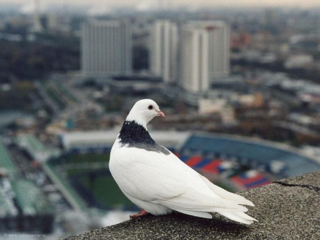 Механизм ориентирования голубей еще не изучен