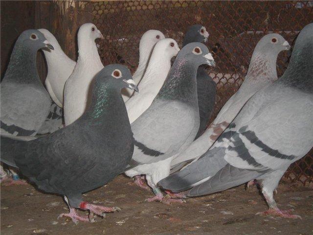Пород почтовых голубей много
