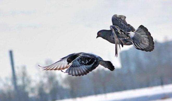 Почтовых голубей нужно дрессировать