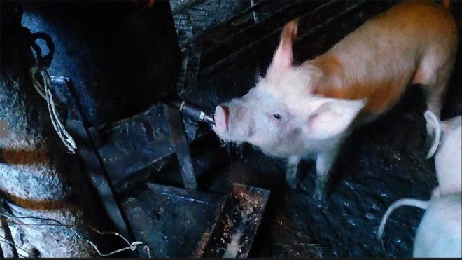 Количество поилок рассчитывается по количеству свиней