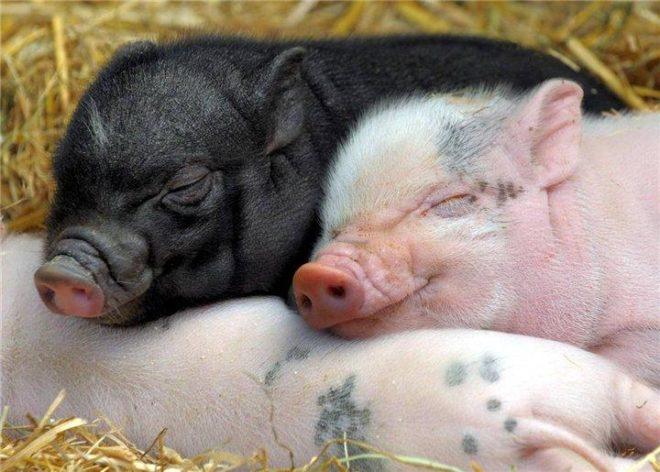 Понос у новорожденных поросят вызван инфекцией свиноматки