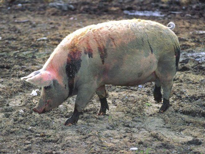 Причиной поноса у свиней часто является инфекция