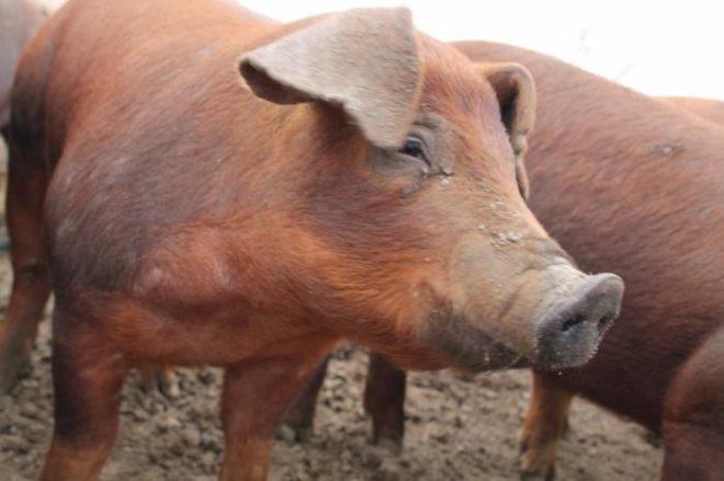"Свиньи ""Дюрок"" дают ""мраморное"" мясо"