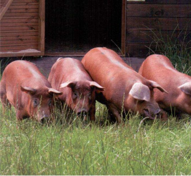 Беременная свинья нуждается в качественном питании