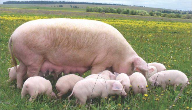 Йоркширские свиньи плодовиты