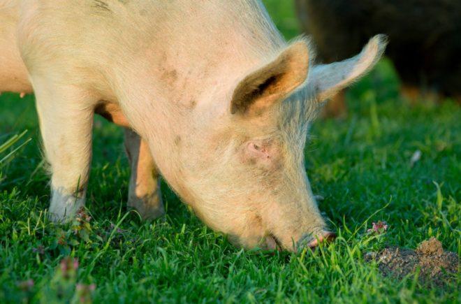 Йоркширские свиньи отличаются маленькой головой