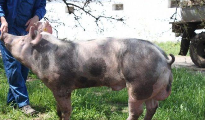"""Свиньи """"пьетрен"""" дают много мяса"""