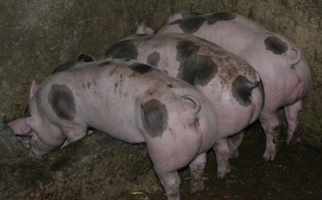 """Свиньи """"пьетрен"""" привередливы в питании"""
