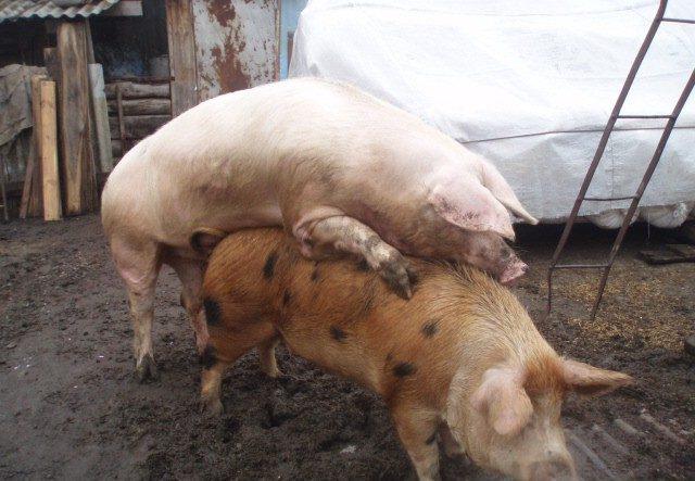 """Свиньи """"петрен"""" часто подвергаются скрещиванию"""