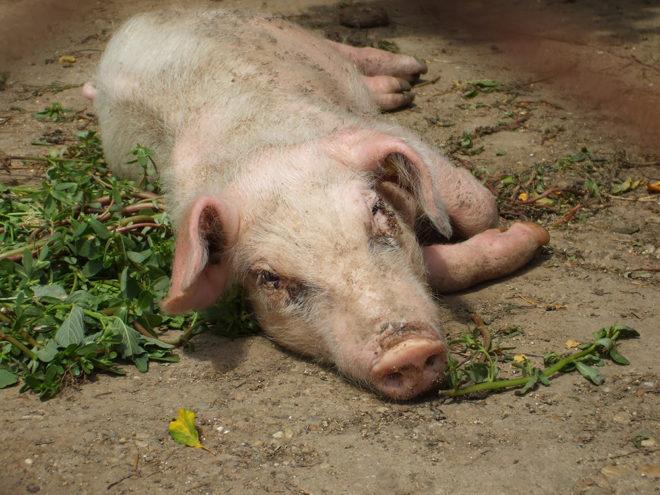 Репродуктивно-респираторный синдром свиней очень опасен