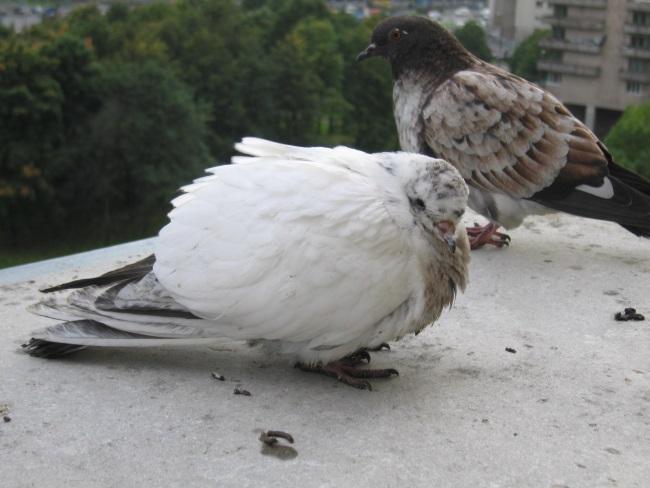 Сальмонеллез опасен для голубей и людей