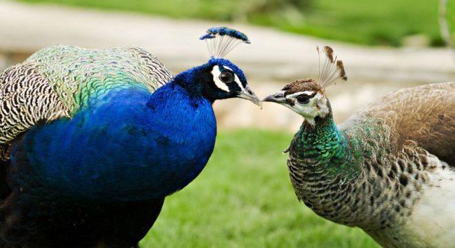 Хвост павлина не играет большой роли в брачных играх