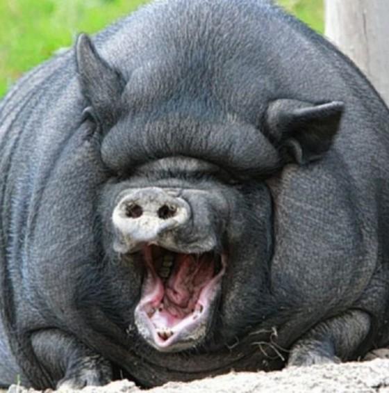 Самая большая домашняя свинья весит 600 кг