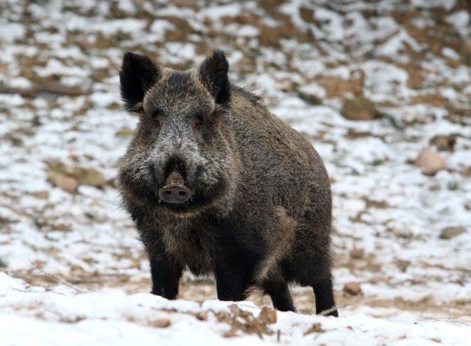 Домашняя свинья и дикий кабан не похожи