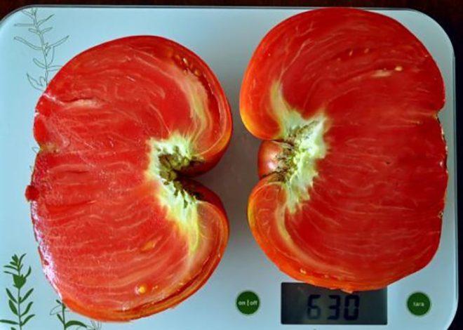 """Пасынкование томатов """"Севрюга"""" обязательно"""