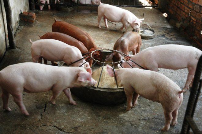 Важно правильно рассчитать количество корма для свиней