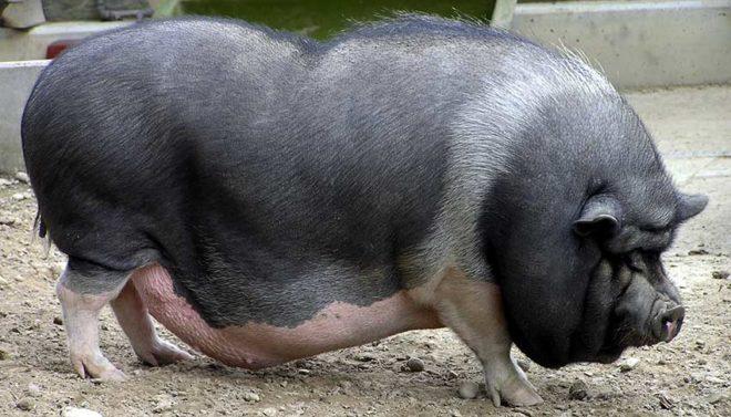 Вьетнамские свиньи едят специальную кашу