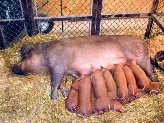 Передние соски свиньи вырабатывают больше молока