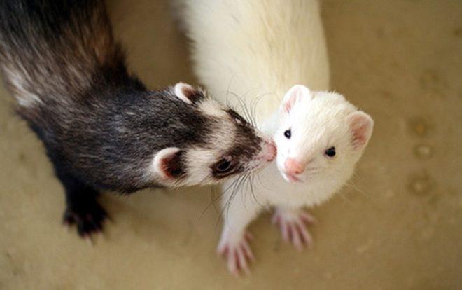 Хорьки требуют обследования у ветеринара