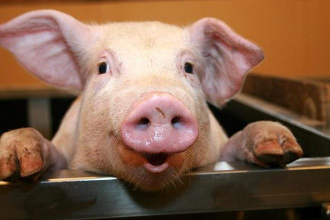 Свинья может жить до 40 лет