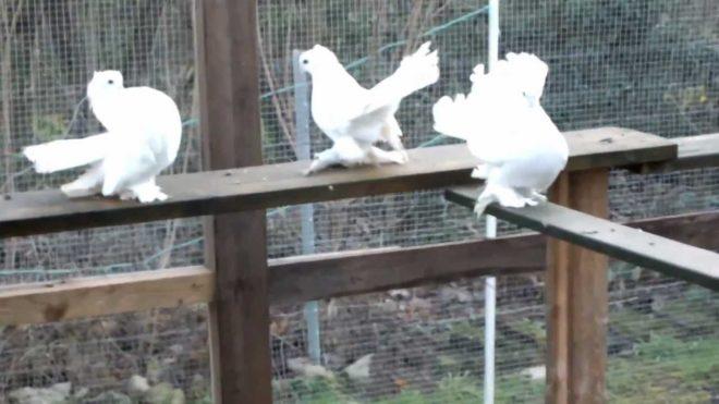 Существует три вида статных голубей