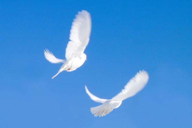 Статные голуби - не очень хорошие летуны