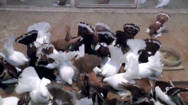 Статные голуби неприхотливы