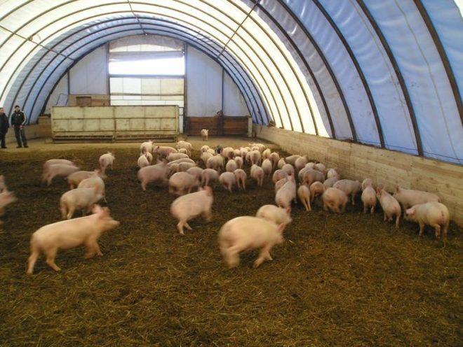 Условия содержания свиней важны