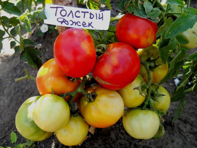 """Томаты """"Толстый Джек"""" урожайны"""